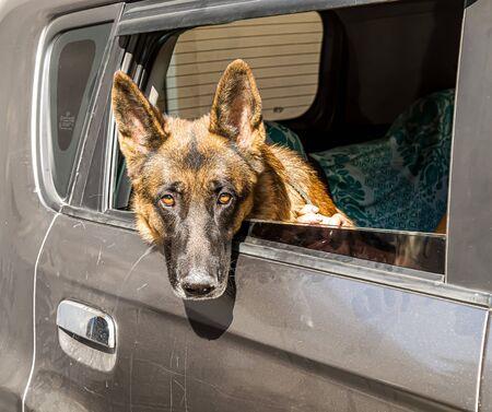 German shepherd dogs in a car