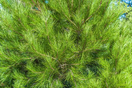 Coniferous tree branches pine as background for design