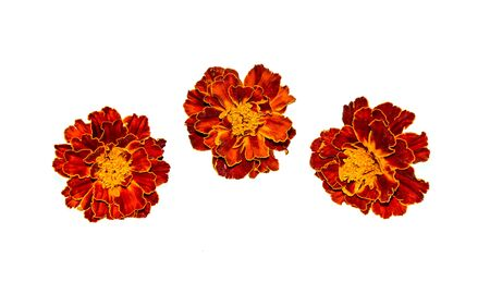 Bright autumn marigolds on a white background