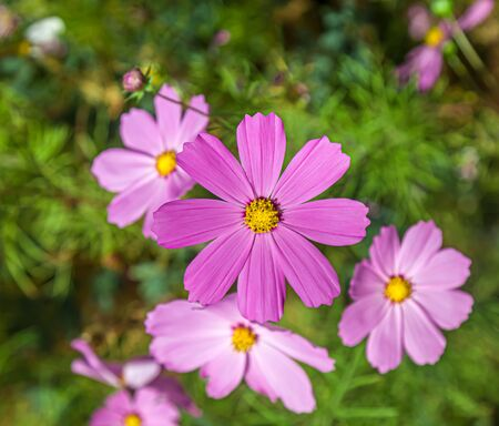 Cosmea flowers in nature. Selective focus 写真素材