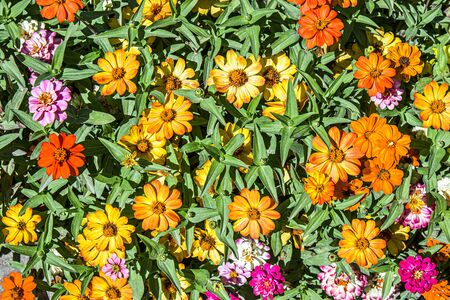 Dwarf zinnia flowers in the park as a background for design