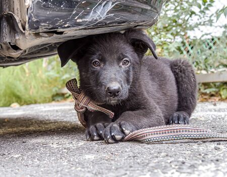 Black puppy dog German shepherd