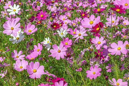 Cosmea flowers in nature. Selective focus Stock Photo