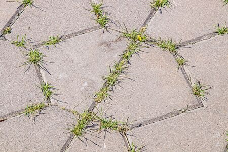 Grass weed grows between paving slabs
