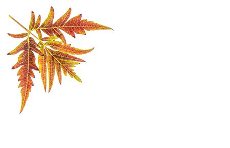 Carved autumn leaves on a white background Stock Photo