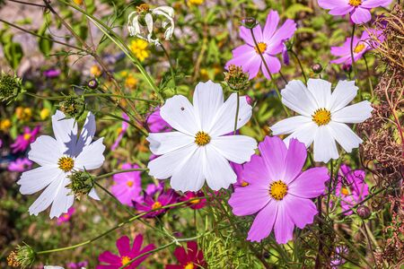 Bright cosmea flowers in nature close-up Stok Fotoğraf