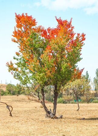 Tree with colored leaves in autumn.Selective focus. Stock Photo