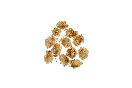 Dry cones hops plants on a white background