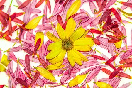 Autumn chrysanthemum flowers on a white background