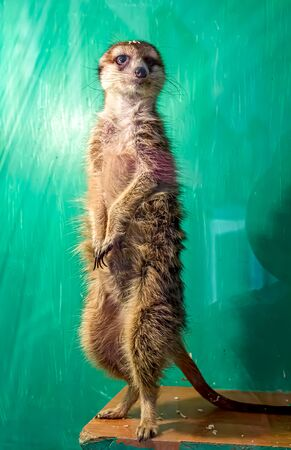 Meerkat behind glass at the zoo. Exotic animal.