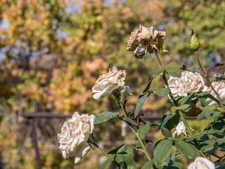 Fading rose in an outdoor garden