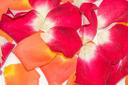 Rose flower petals on a white background 写真素材