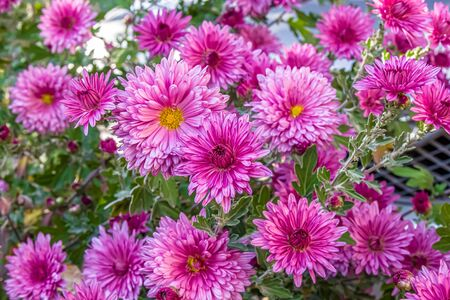 Autumn chrysanthemum flowers in the garden