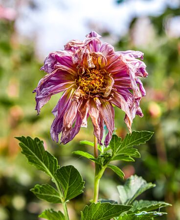Wilting peony flower in the garden