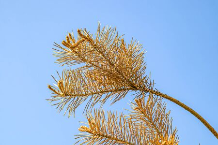Dry coniferous branches opposite the sky. Ecological disaster. Drought. 写真素材