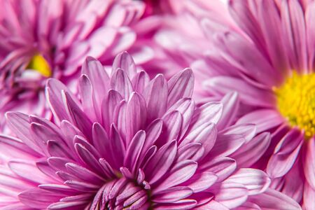 Autumn chrysanthemum flowers close-up as a bright background