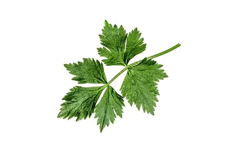 Green zone leaves on a white background