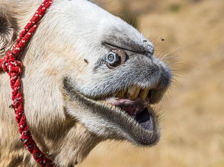 Camel head in nature close-up Foto de archivo