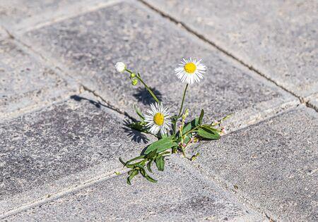 Plant weeds between paving tiles