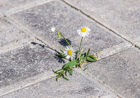 Unkraut zwischen Pflastersteinen pflanzen