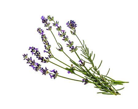 A sprig of lavender plants on a white background Banque d'images