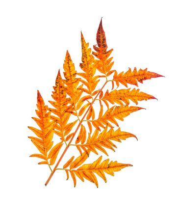 Yellow-orange autumn carved leaves isolated on white background