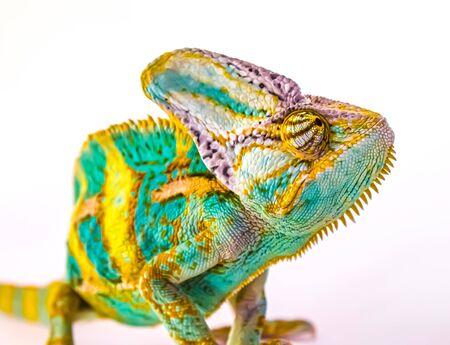 Exotic animal chameleon on a white background.