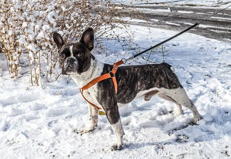 Portrait of a french bulldog dog in winter in nature
