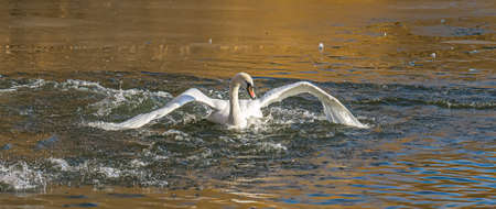 Swan and ducks in the water in a lake in a city park. Standard-Bild
