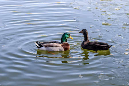 Ducks in the water in a lake in a city park. Banque d'images