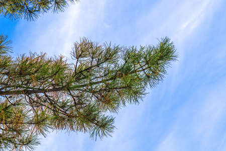 Coniferous tree branch against the blue sky