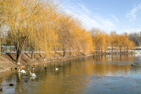 Yellow willow trees on the lake in the park. Scenery.