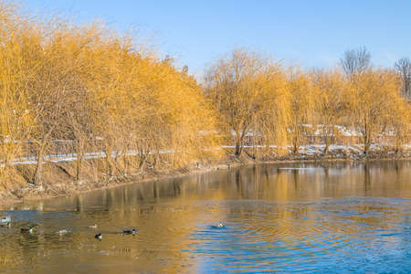 Yellow willow trees on the shore of a frozen lake in a city park.