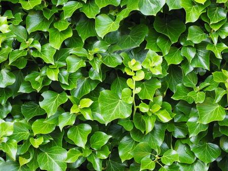 Klimop met verse groene bladeren Stockfoto