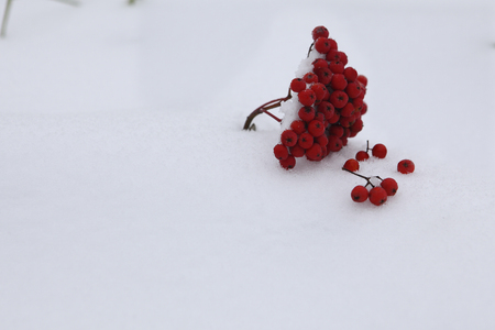 rowanberry: Ripe red rowan on the white snow.