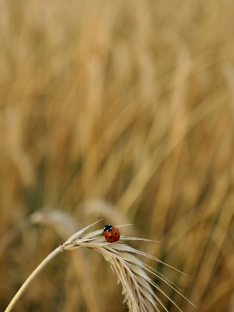 Ladybug on a spike in a wheat field   Stock Photo