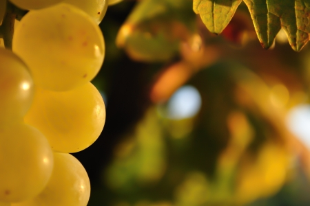 Autumn fruits - detail of wine grape Stock Photo
