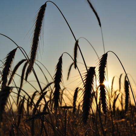 Wheat field with spike silhouettes at sunset  Agriculture and Farming Collection  Stock Photo
