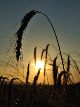 Wheat field with spike silhouettes at sunset  One big spike in front  Agriculture Stock Photo