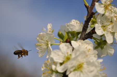 Flying bee collecting pollen on plum Stock Photo