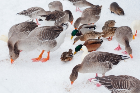 Some geese and ducks eating seeds on snowy ground Stock Photo - 18425435