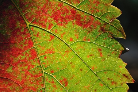 Detail view of colorful vine leaf Stock Photo - 19057330