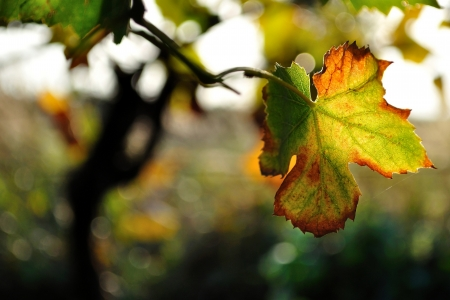 Colorful vine leaf in autumn  Stock Photo - 19057325