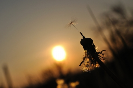 Dandelion silhouette at sunset with last seed