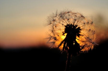 Dandelion silhouette at sunset with space on left side