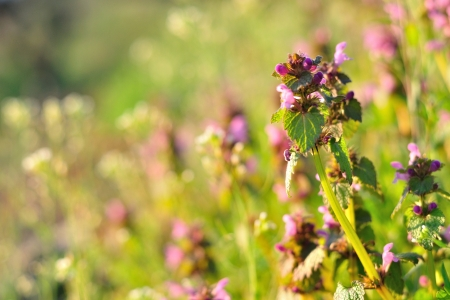 Detail view of Purple Dead Nettle  Lamium purpureum  in meadow photo