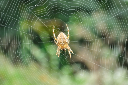 Detail view of European garden spider or cross spider  Araneus diadematus  in its web photo