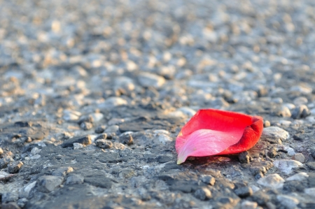 One red rose petal on asphalt, horizontal image  photo