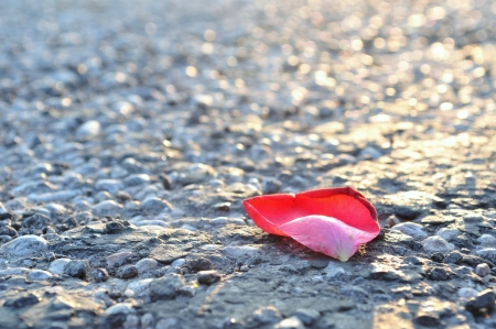 One red rose petal on asphalt, horizontal image  Stock Photo - 19861808