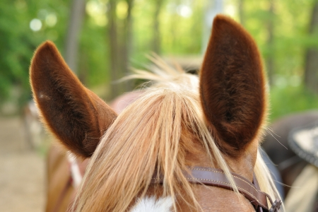 Ears of brown horse against blurred forest photo